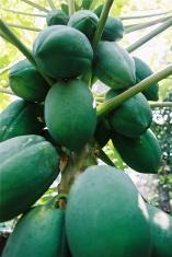 papayas on tree
