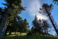 Big spruce trees