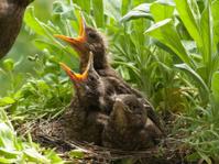 Blackbird babies and  mother in nest