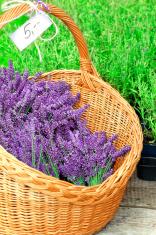 Wicker basket full with purple fresh lavender flowers. Outdoors