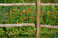 calendula marigold medical flowers blossoms in garden