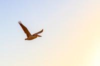 Flying Pelican at Dawn