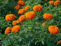 Field of Marigold flowers, Calendula officinalis LINN.