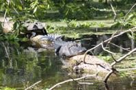 Alligator and Turtle on same log