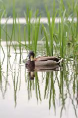 Wild Mallard Duck - Anas platyrhynchos - drake