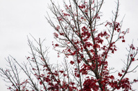 sparse red maple leaves