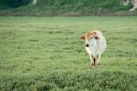 Cow grazing on farmland.