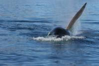 killer whale male