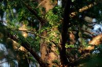pine tree in sunshine