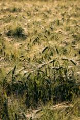 Crop field in Finland