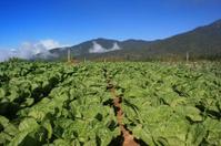 Vegetables farm  in Kundasang Sabah