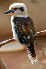 Kookaburra - Australian Bird