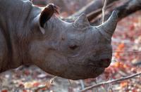 Browsing black rhino Zimbabwe