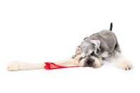 Picture of a miniature schnauzers