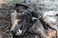 Mummified dog lying on the grass