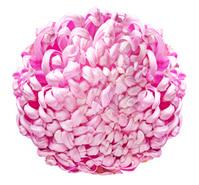 Large pink chrysanthemum