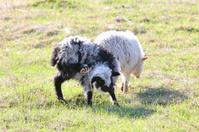 Little sheep