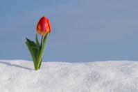 Tulip In Fresh Snow