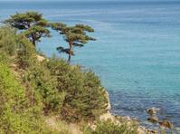 Pinus densiflora growing on cliff above sea