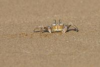 Mediterranean shore crab