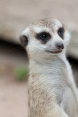 Meerkat looking alert at something