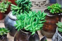 succulent,Sedum sediforme,crassulaceae
