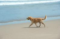 Labrador Retriever playing at the beach