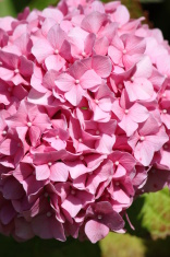 Hydrangea flower pink