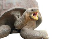 Giant Galapagos Tortoise (Chelonoidis nigra)