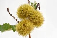 Chestnut - Hedgehog on Tree