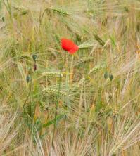 Photo of a poppy flower in a field of ripe Barley
