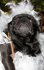 Bride Pug