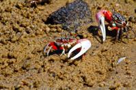 Fiddler crab - africa, madagascar