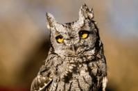 Western Screech Owl in Autumn Setting