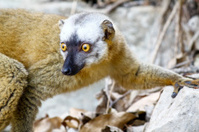 The red-fronted lemur (Eulemur rufifrons)
