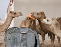 Dumpster Diving Camels