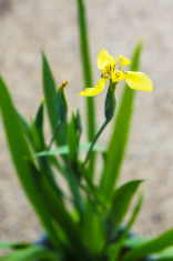 Dutch Iris flower