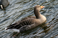 Duck on Spring pond