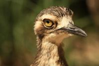 Australian Shore Bird close-up