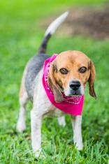 Beagle dog wearing a pink bandana