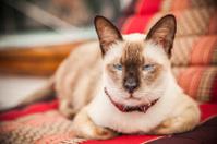 Pure Bred Cat