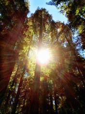 Redwood Sunrays