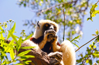Endangered Coquerel's Sifaka Lemur (Propithecus coquereli), Mada