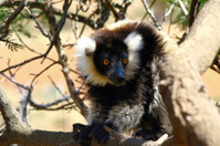 The black and white ruffed lemur
