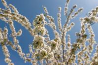 Apple Blossom in Springtime