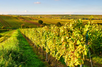 Vineyard in the evening