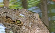 Eye of American Crocodile