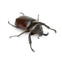 Thai rhinoceros beetle
