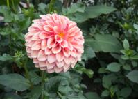Peach color Dahlia in bloom