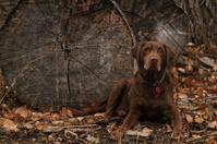 Labrador Retriever Hunting Dog
